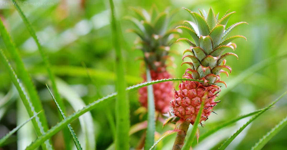 Maui pineapple