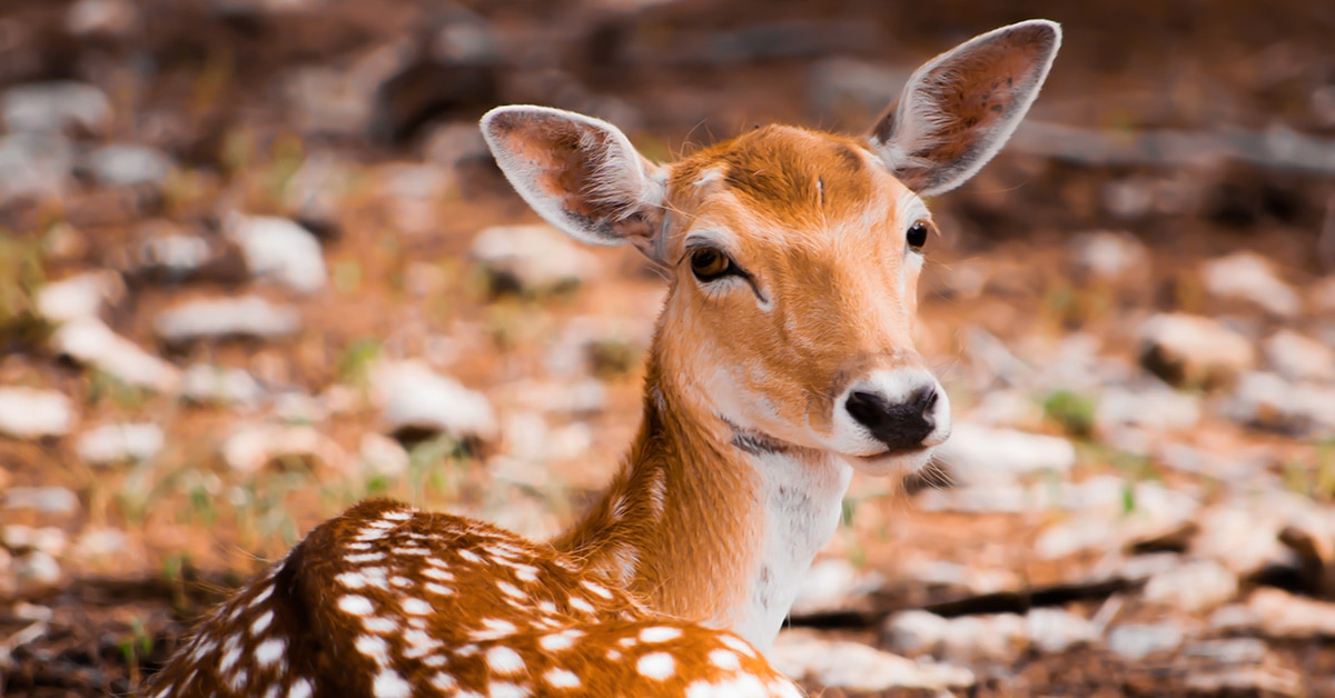 Maui Fauna of the Month - Axis Deer